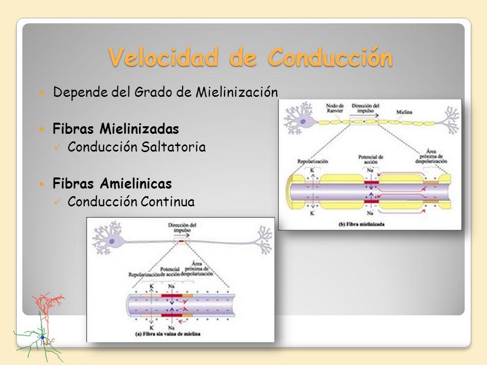 Velocidad de Conducción Depende del Grado de Mielinización Fibras Mielinizadas Conducción Saltatoria Fibras Amielinicas Conducción Continua