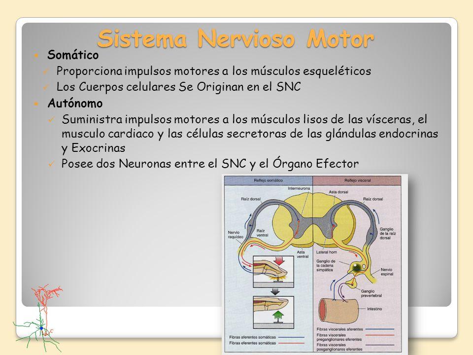 Sistema Nervioso Motor Somático Proporciona impulsos motores a los músculos esqueléticos Los Cuerpos celulares Se Originan en el SNC Autónomo Suminist