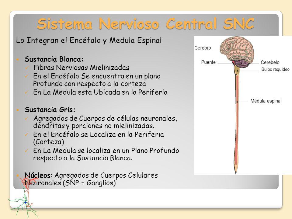 Sistema Nervioso Central SNC Lo Integran el Encéfalo y Medula Espinal Sustancia Blanca: Fibras Nerviosas Mielinizadas En el Encéfalo Se encuentra en u