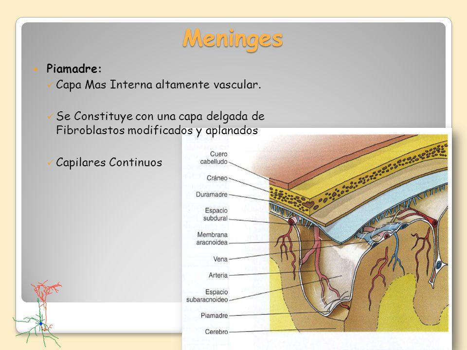 Meninges Piamadre: Capa Mas Interna altamente vascular. Se Constituye con una capa delgada de Fibroblastos modificados y aplanados Capilares Continuos