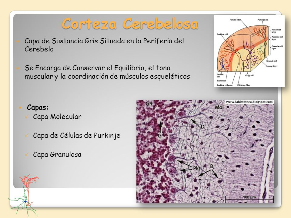Corteza Cerebelosa Capa de Sustancia Gris Situada en la Periferia del Cerebelo Se Encarga de Conservar el Equilibrio, el tono muscular y la coordinaci