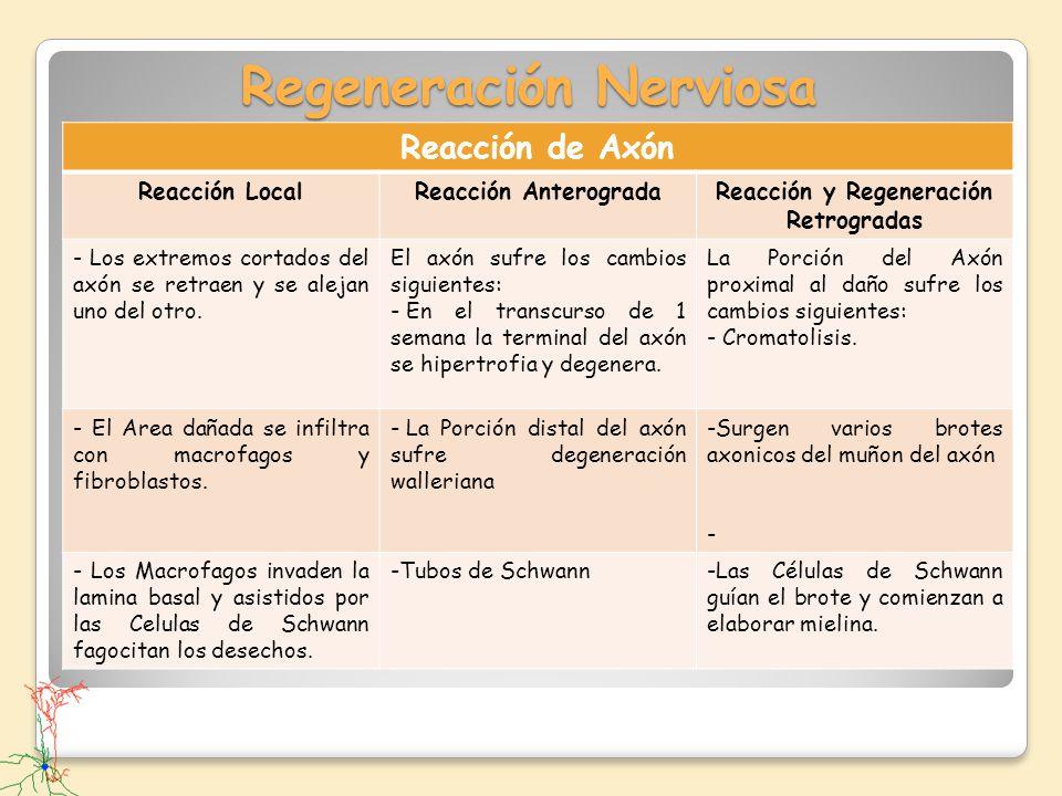 Regeneración Nerviosa Reacción de Axón Reacción LocalReacción AnterogradaReacción y Regeneración Retrogradas - Los extremos cortados del axón se retra