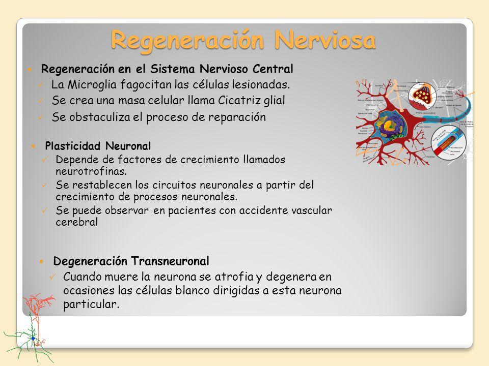 Regeneración Nerviosa Regeneración en el Sistema Nervioso Central La Microglia fagocitan las células lesionadas. Se crea una masa celular llama Cicatr