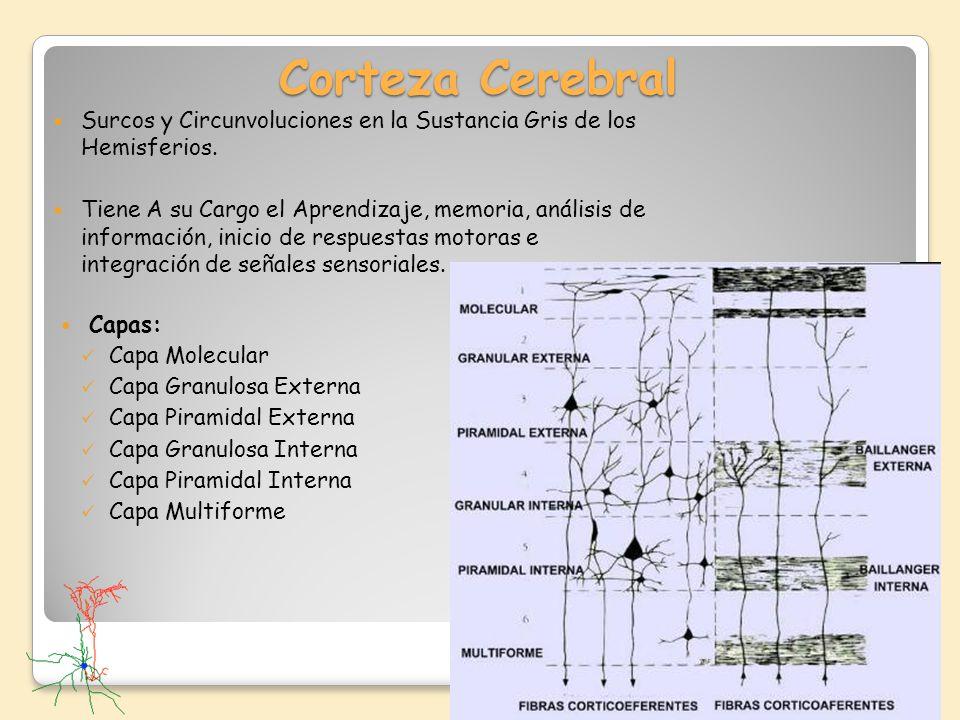 Corteza Cerebral Surcos y Circunvoluciones en la Sustancia Gris de los Hemisferios. Tiene A su Cargo el Aprendizaje, memoria, análisis de información,