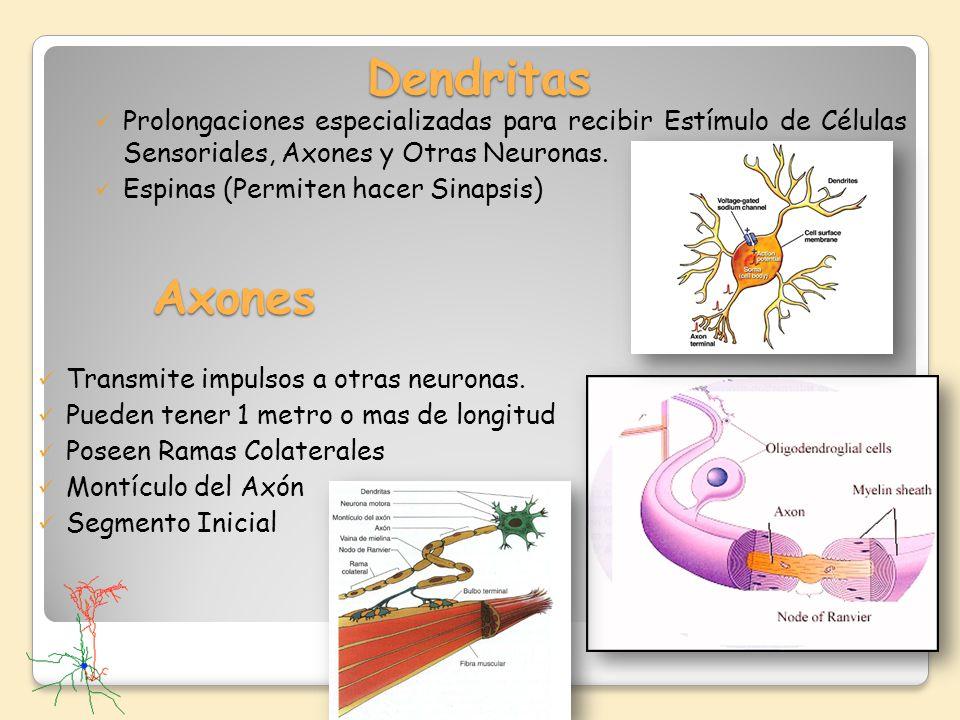 Dendritas Prolongaciones especializadas para recibir Estímulo de Células Sensoriales, Axones y Otras Neuronas. Espinas (Permiten hacer Sinapsis) Axone