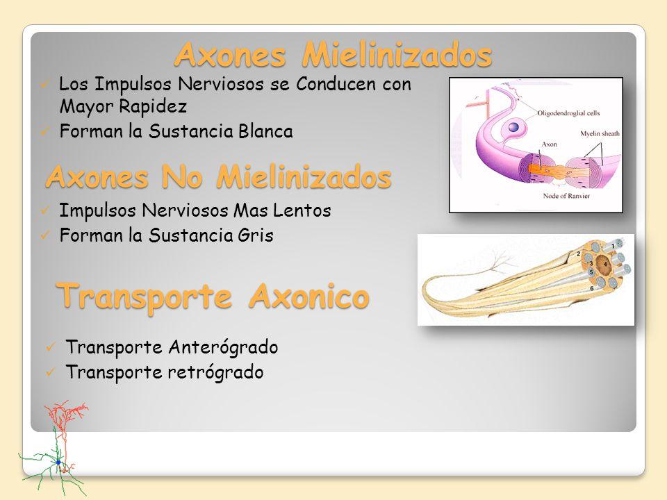 Axones Mielinizados Los Impulsos Nerviosos se Conducen con Mayor Rapidez Forman la Sustancia Blanca Axones No Mielinizados Impulsos Nerviosos Mas Lent