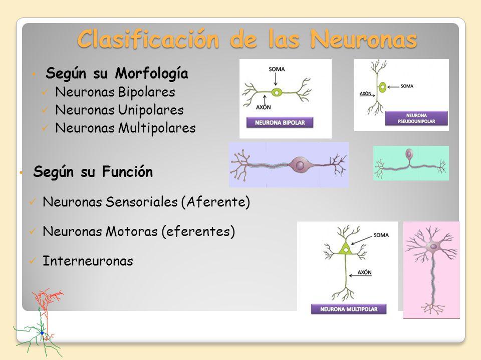 Clasificación de las Neuronas Según su Morfología Neuronas Bipolares Neuronas Unipolares Neuronas Multipolares Según su Función Neuronas Sensoriales (