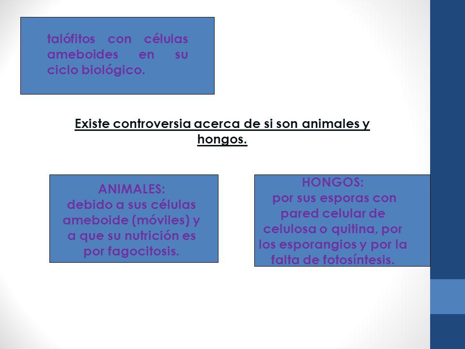 talófitos con células ameboides en su ciclo biológico. Existe controversia acerca de si son animales y hongos. ANIMALES: debido a sus células ameboide