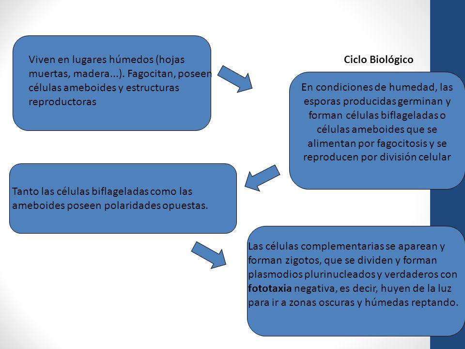 Viven en lugares húmedos (hojas muertas, madera...). Fagocitan, poseen células ameboides y estructuras reproductoras En condiciones de humedad, las es