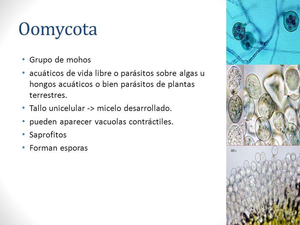 Oomycota Grupo de mohos acuáticos de vida libre o parásitos sobre algas u hongos acuáticos o bien parásitos de plantas terrestres. Tallo unicelular ->