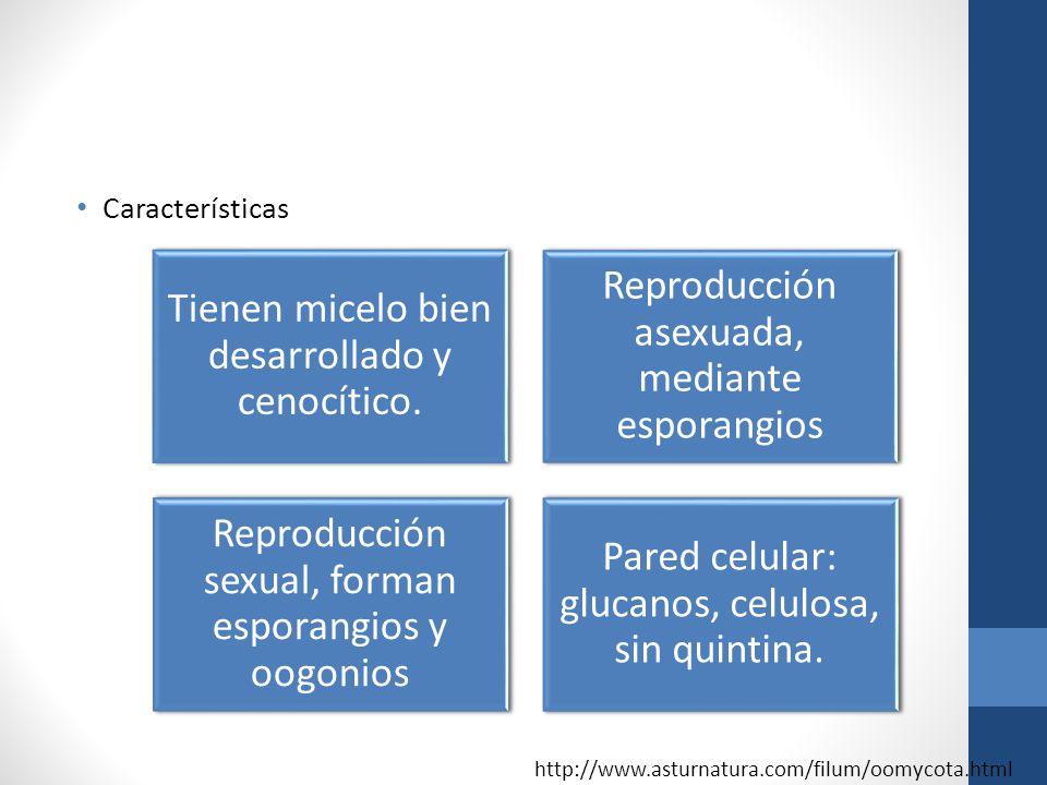 Características Tienen micelo bien desarrollado y cenocítico. Reproducción asexuada, mediante esporangios Reproducción sexual, forman esporangios y oo