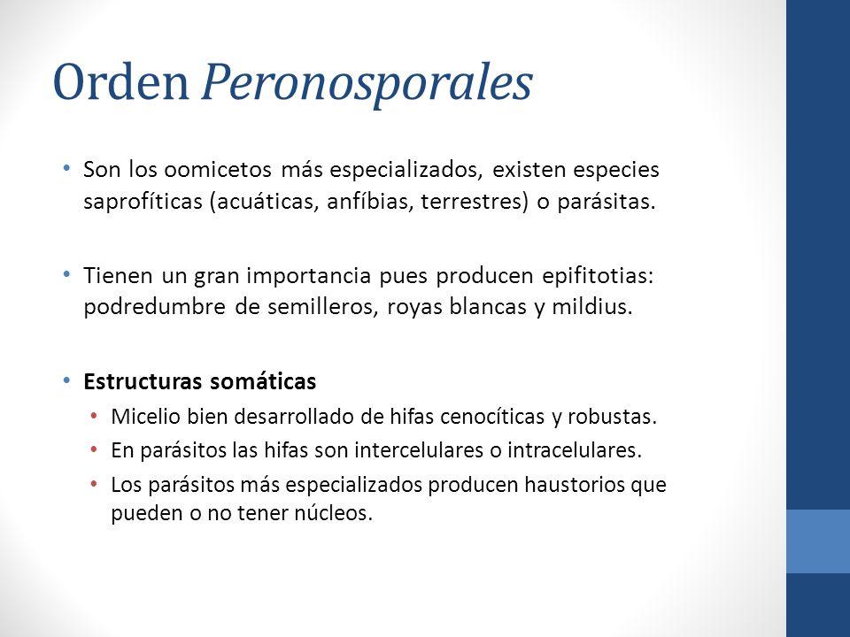Orden Peronosporales Son los oomicetos más especializados, existen especies saprofíticas (acuáticas, anfíbias, terrestres) o parásitas. Tienen un gran