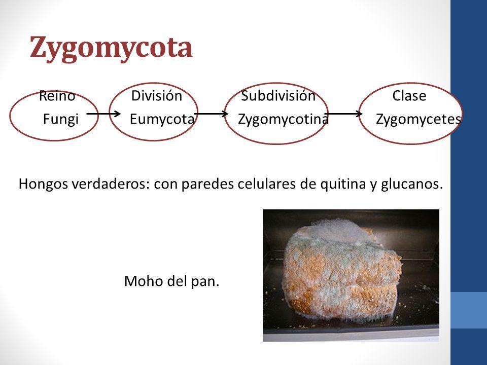 Zygomycota Reino División Subdivisión Clase Fungi Eumycota Zygomycotina Zygomycetes Hongos verdaderos: con paredes celulares de quitina y glucanos. Mo