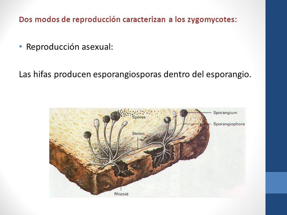 Dos modos de reproducción caracterizan a los zygomycotes: Reproducción asexual: Las hifas producen esporangiosporas dentro del esporangio.