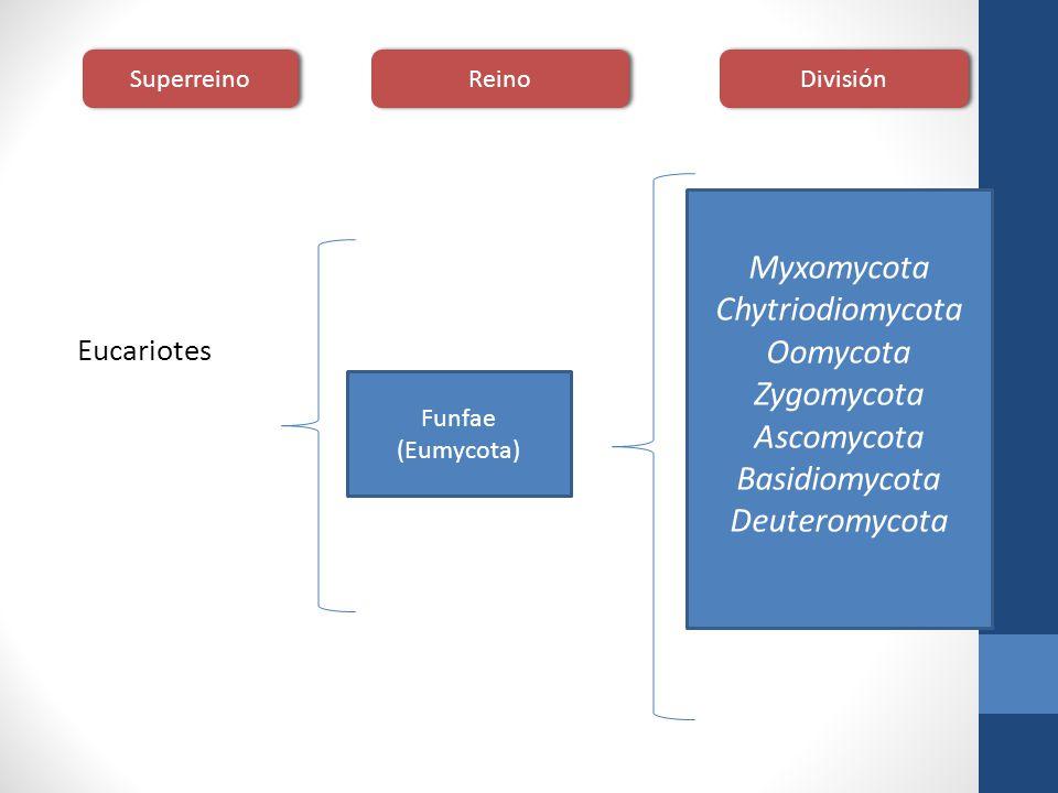 Eucariotes Funfae (Eumycota) Myxomycota Chytriodiomycota Oomycota Zygomycota Ascomycota Basidiomycota Deuteromycota Superreino Reino División