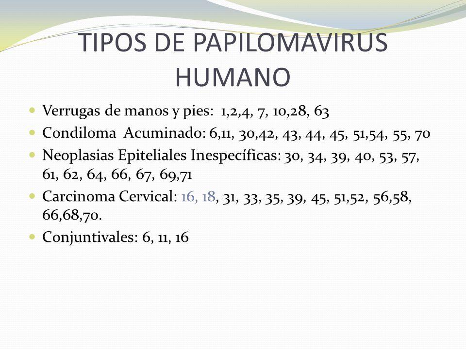 TIPOS DE PAPILOMAVIRUS HUMANO Verrugas de manos y pies: 1,2,4, 7, 10,28, 63 Condiloma Acuminado: 6,11, 30,42, 43, 44, 45, 51,54, 55, 70 Neoplasias Epi