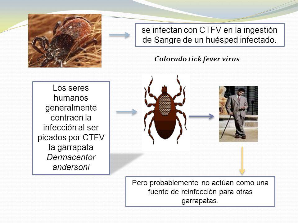se infectan con CTFV en la ingestión de Sangre de un huésped infectado. Los seres humanos generalmente contraen la infección al ser picados por CTFV l