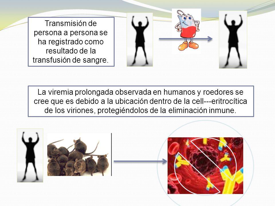 Transmisión de persona a persona se ha registrado como resultado de la transfusión de sangre. La viremia prolongada observada en humanos y roedores se
