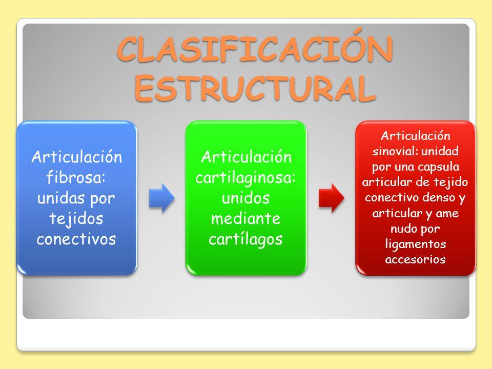 CLASIFICACIÓN ESTRUCTURAL Articulación fibrosa: unidas por tejidos conectivos Articulación cartilaginosa: unidos mediante cartílagos Articulación sino