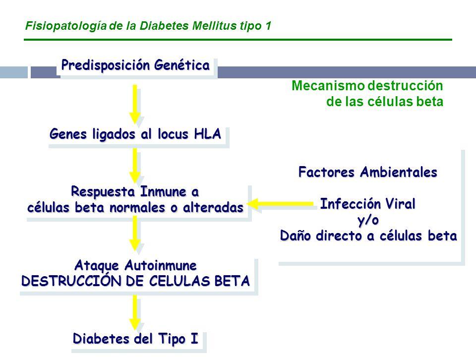 Predisposición Genética Genes ligados al locus HLA Respuesta Inmune a células beta normales o alteradas Ataque Autoinmune DESTRUCCIÓN DE CELULAS BETA Ataque Autoinmune DESTRUCCIÓN DE CELULAS BETA Diabetes del Tipo I Factores Ambientales Infección Viral y/o Daño directo a células beta Factores Ambientales Infección Viral y/o Daño directo a células beta Fisiopatología de la Diabetes Mellitus tipo 1 Mecanismo destrucción de las células beta