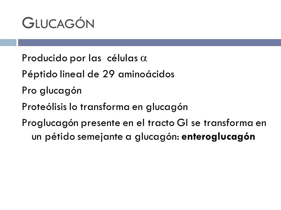 G LUCAGÓN Producido por las células Péptido lineal de 29 aminoácidos Pro glucagón Proteólisis lo transforma en glucagón Proglucagón presente en el tra