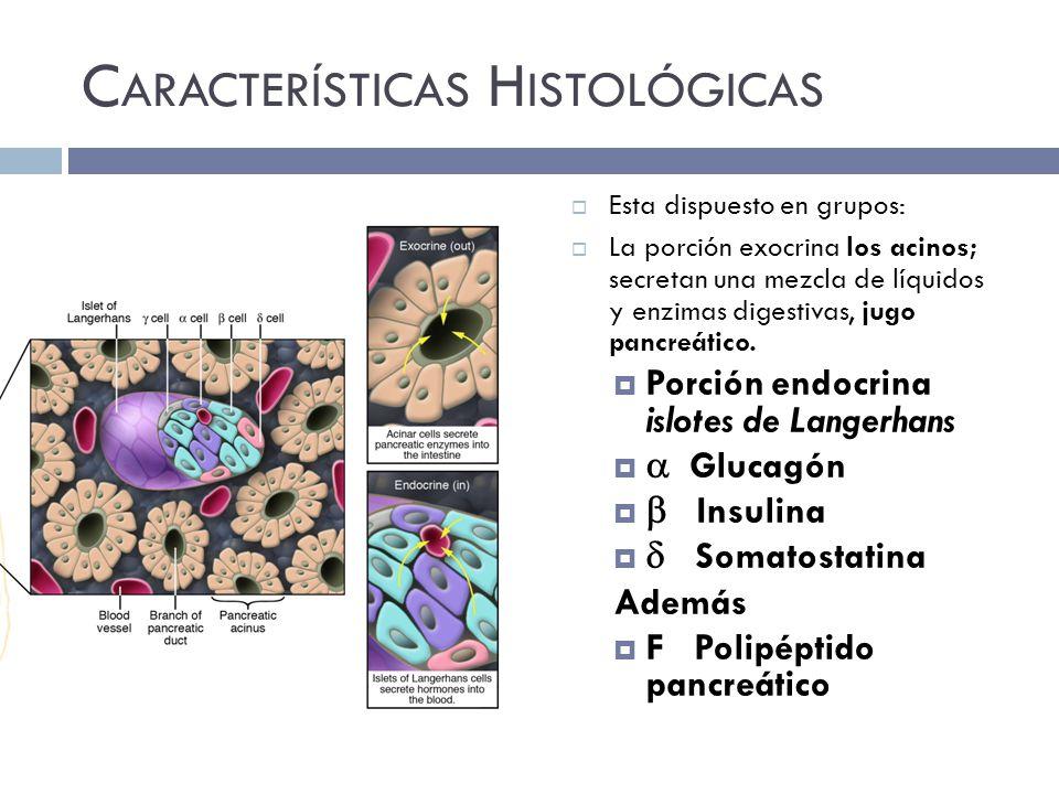 C ARACTERÍSTICAS H ISTOLÓGICAS Esta dispuesto en grupos: La porción exocrina los acinos; secretan una mezcla de líquidos y enzimas digestivas, jugo pancreático.