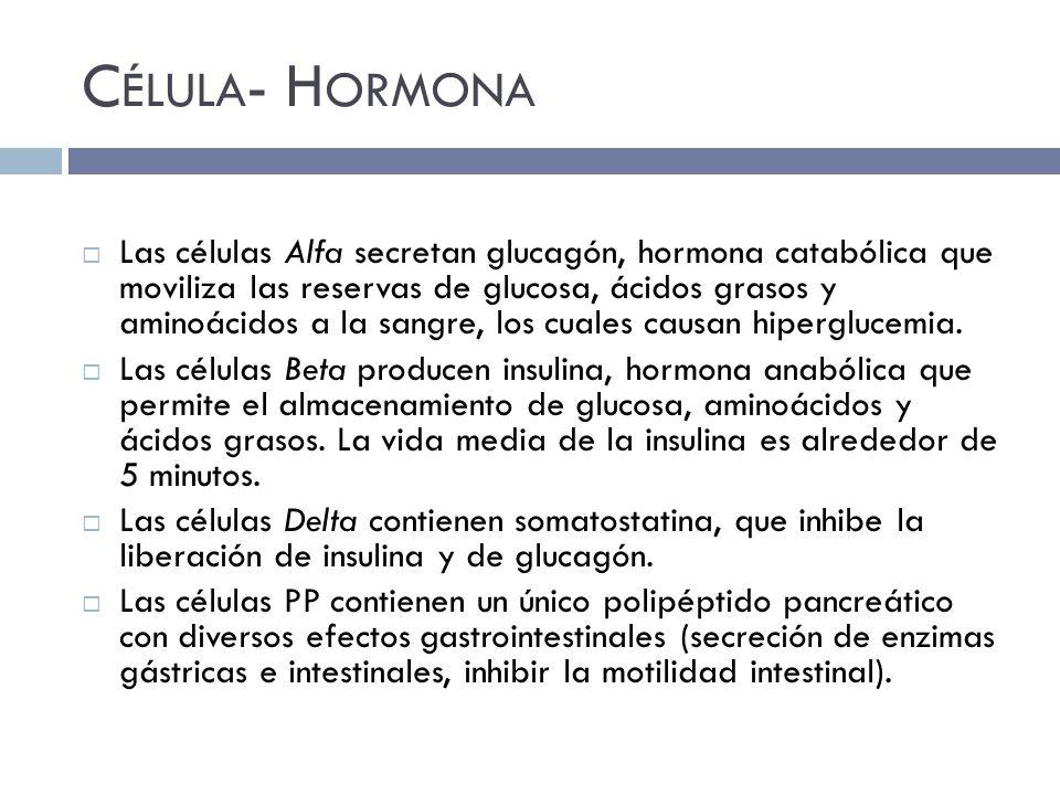 C ÉLULA - H ORMONA Las células Alfa secretan glucagón, hormona catabólica que moviliza las reservas de glucosa, ácidos grasos y aminoácidos a la sangre, los cuales causan hiperglucemia.