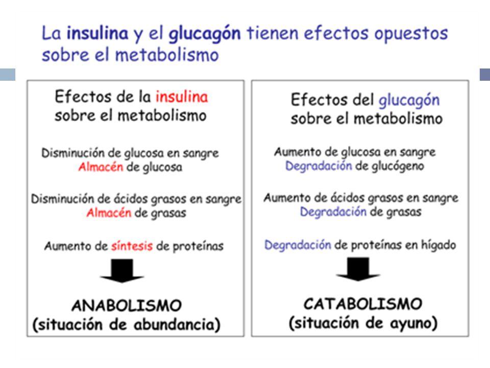 B IOSÍNTESIS DE I NSULINA Gen de insulina está en el brazo corto del cromosoma 11.