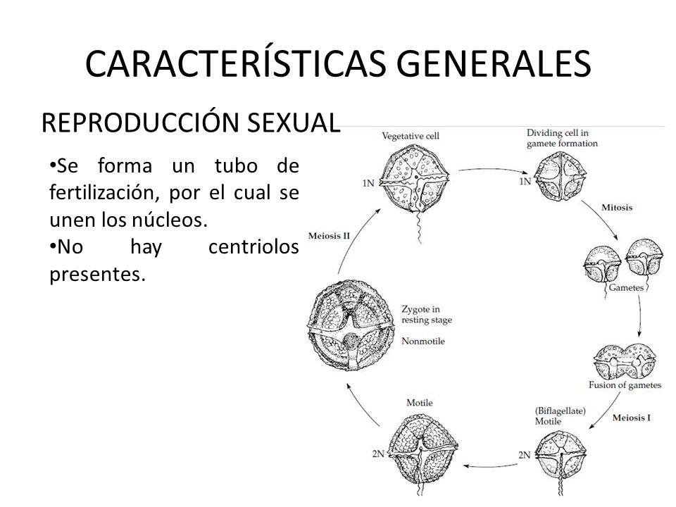 CARACTERÍSTICAS GENERALES REPRODUCCIÓN SEXUAL Se forma un tubo de fertilización, por el cual se unen los núcleos. No hay centriolos presentes.