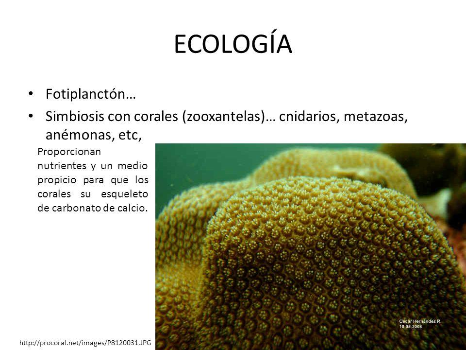 ECOLOGÍA Fotiplanctón… Simbiosis con corales (zooxantelas)… cnidarios, metazoas, anémonas, etc, http://procoral.net/images/P8120031.JPG Proporcionan n