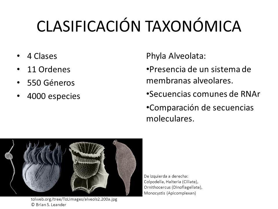 CLASIFICACIÓN TAXONÓMICA 4 Clases 11 Ordenes 550 Géneros 4000 especies Phyla Alveolata: Presencia de un sistema de membranas alveolares. Secuencias co
