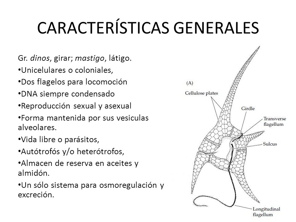 CARACTERÍSTICAS GENERALES Gr. dinos, girar; mastigo, látigo. Unicelulares o coloniales, Dos flagelos para locomoción DNA siempre condensado Reproducci