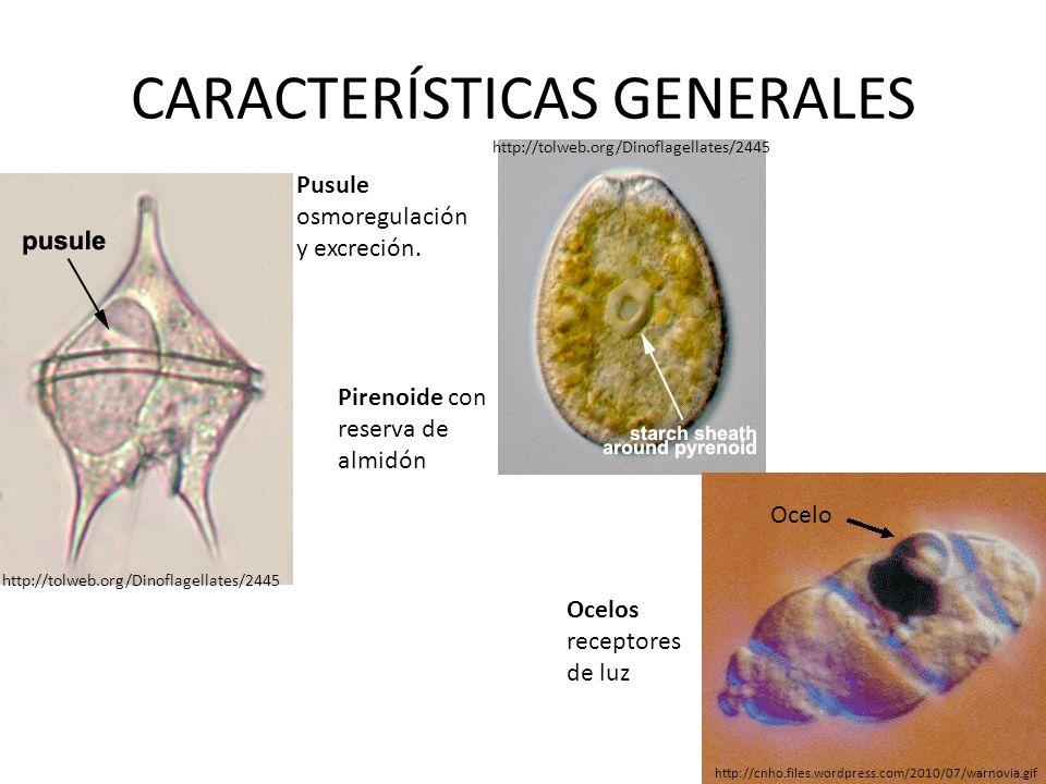 CARACTERÍSTICAS GENERALES Pusule osmoregulación y excreción. Pirenoide con reserva de almidón Ocelos receptores de luz Ocelo http://cnho.files.wordpre