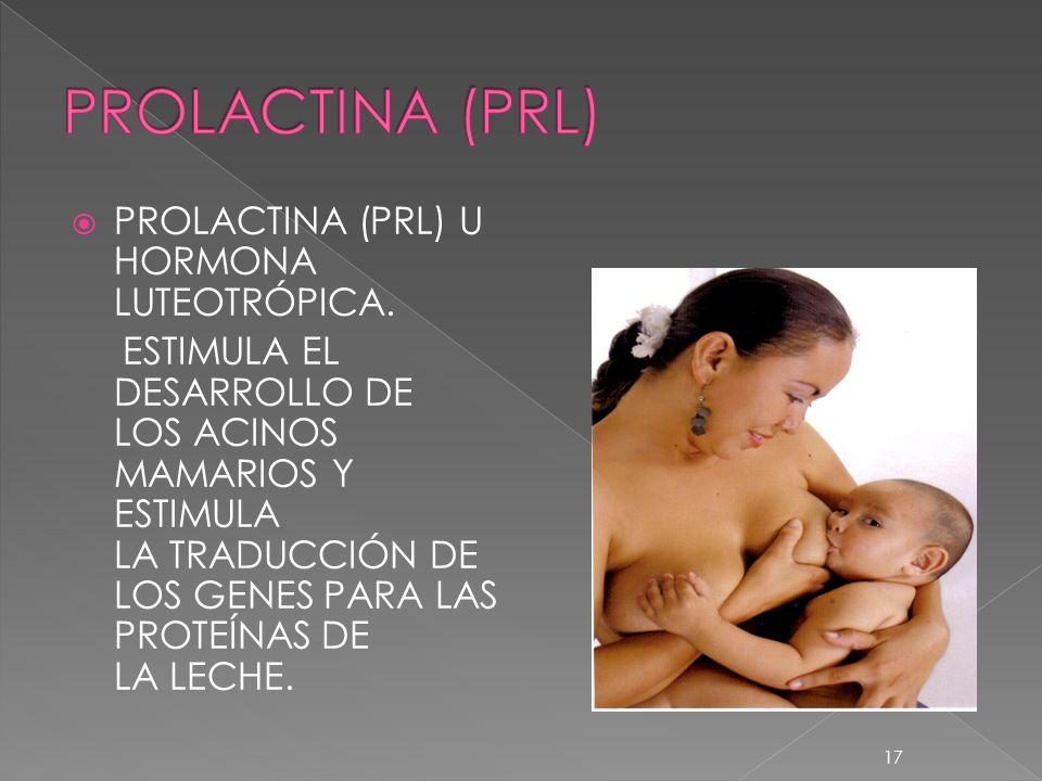 PROLACTINA (PRL) U HORMONA LUTEOTRÓPICA. ESTIMULA EL DESARROLLO DE LOS ACINOS MAMARIOS Y ESTIMULA LA TRADUCCIÓN DE LOS GENES PARA LAS PROTEÍNAS DE LA