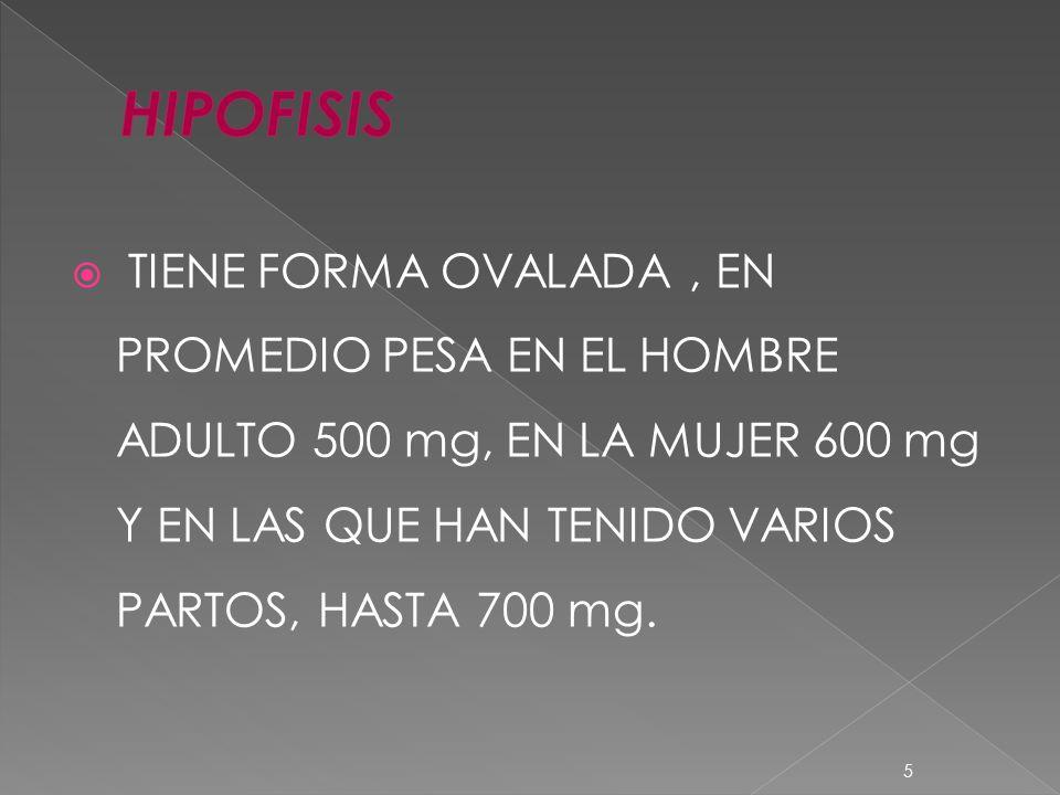 TIENE FORMA OVALADA, EN PROMEDIO PESA EN EL HOMBRE ADULTO 500 mg, EN LA MUJER 600 mg Y EN LAS QUE HAN TENIDO VARIOS PARTOS, HASTA 700 mg. 5