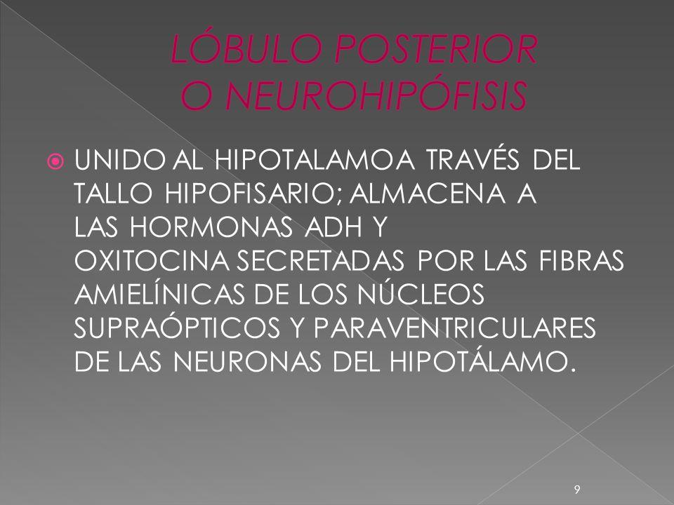 UNIDO AL HIPOTALAMOA TRAVÉS DEL TALLO HIPOFISARIO; ALMACENA A LAS HORMONAS ADH Y OXITOCINA SECRETADAS POR LAS FIBRAS AMIELÍNICAS DE LOS NÚCLEOS SUPRAÓ