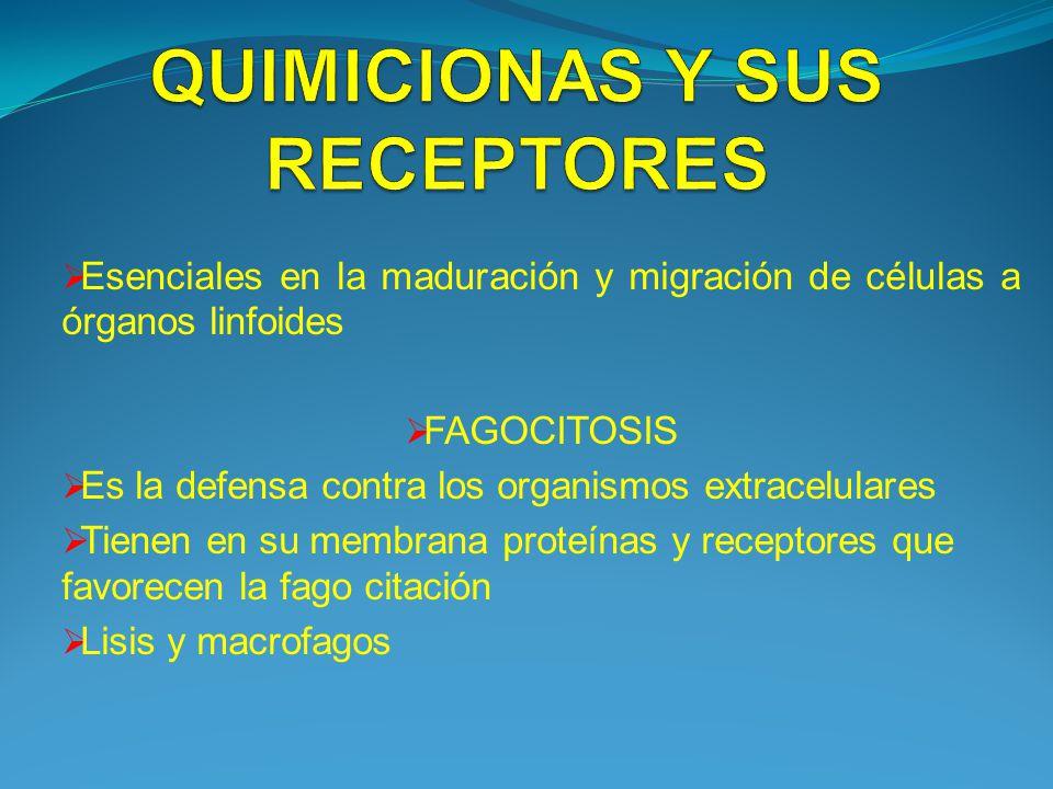 Esenciales en la maduración y migración de células a órganos linfoides FAGOCITOSIS Es la defensa contra los organismos extracelulares Tienen en su mem