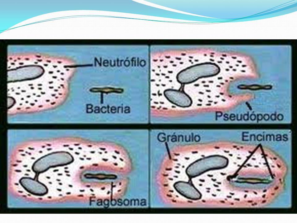 Sistema globulinico inactivo en el plasma Funciones > Lisis respuesta inflamatoria neutralización viral Eliminación de inmunocomplejos