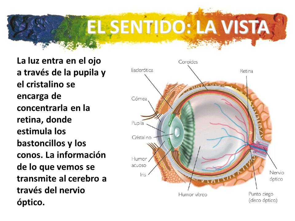 La luz entra en el ojo a través de la pupila y el cristalino se encarga de concentrarla en la retina, donde estimula los bastoncillos y los conos.