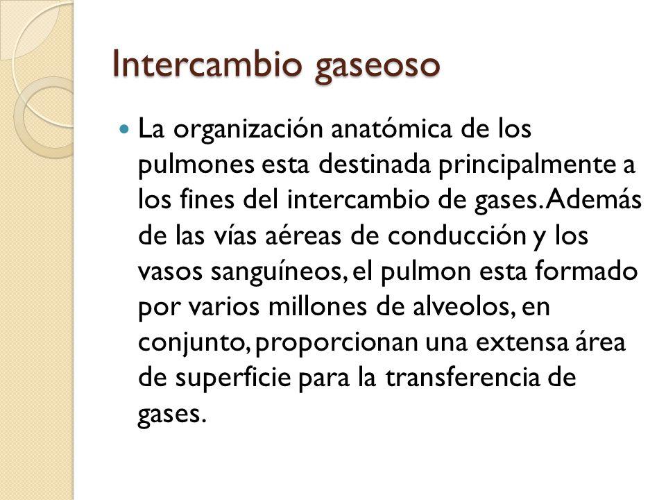 Intercambio gaseoso La organización anatómica de los pulmones esta destinada principalmente a los fines del intercambio de gases. Además de las vías a
