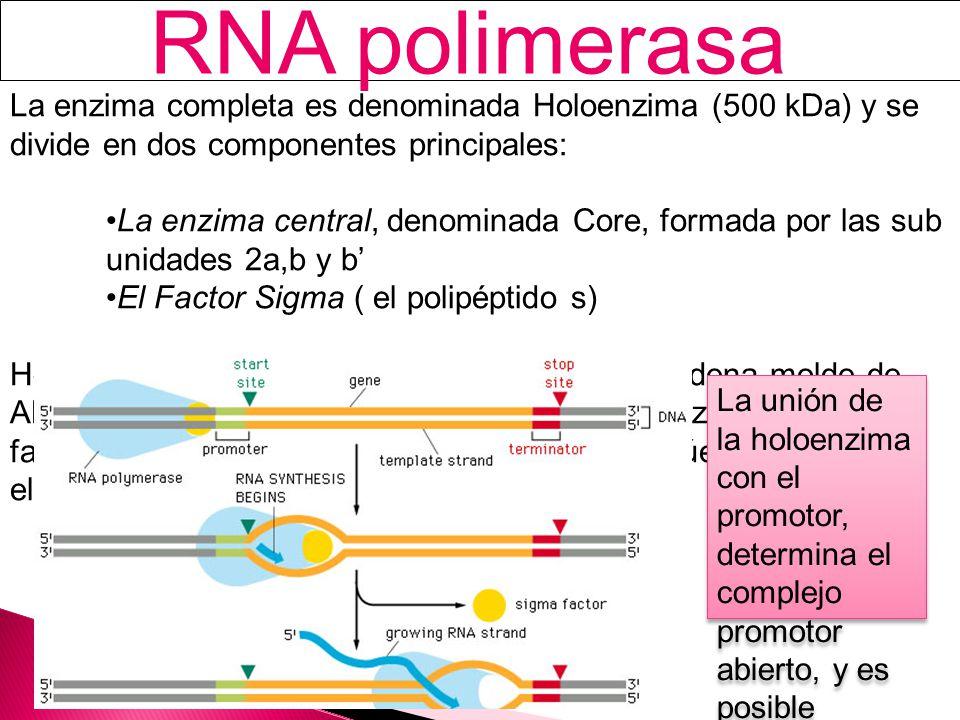 La enzima completa es denominada Holoenzima (500 kDa) y se divide en dos componentes principales: La enzima central, denominada Core, formada por las sub unidades 2a,b y b El Factor Sigma ( el polipéptido s) Holoenzima tiene la capacidad de unirse a la cadena molde de ADN e iniciar la transcripción; pero una vez realizada esta, el factor s es liberado, dejando que el Core continúe con la elongación La unión de la holoenzima con el promotor, determina el complejo promotor abierto, y es posible gracias al factor s
