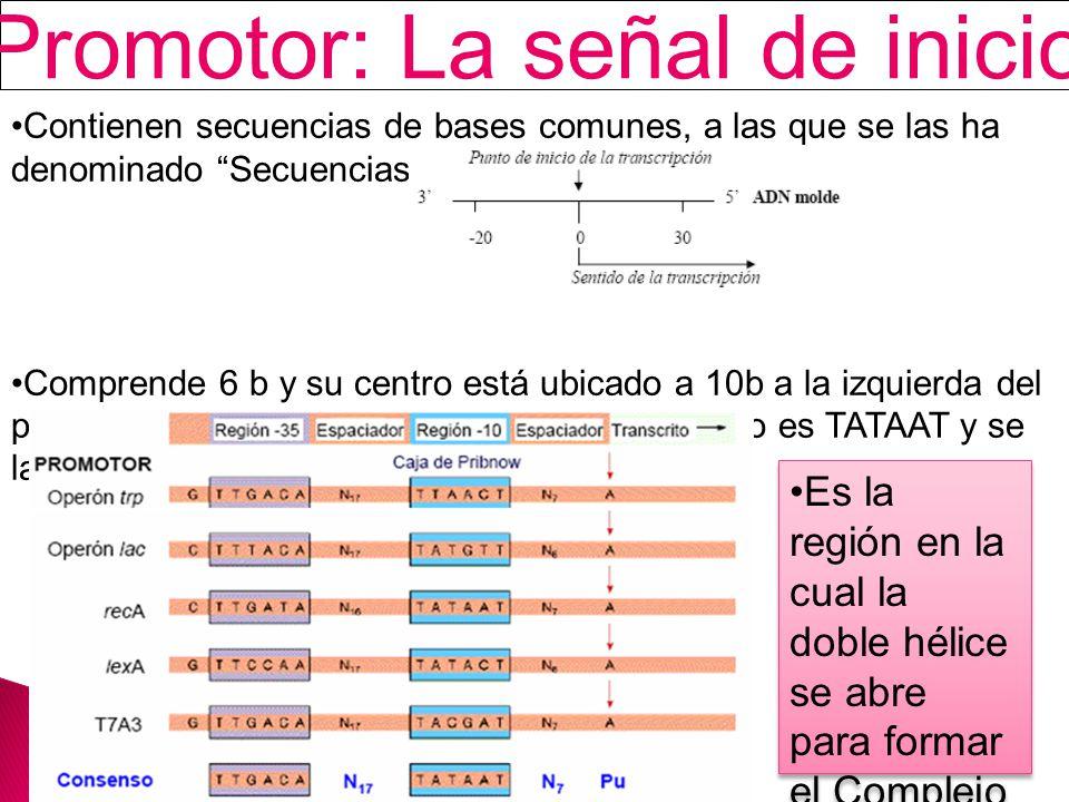 Promotor: La señal de inicio Contienen secuencias de bases comunes, a las que se las ha denominado Secuencias de Consenso.