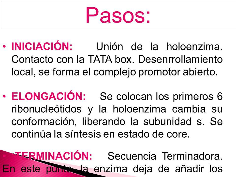 Pasos: INICIACIÓN: Unión de la holoenzima.Contacto con la TATA box.