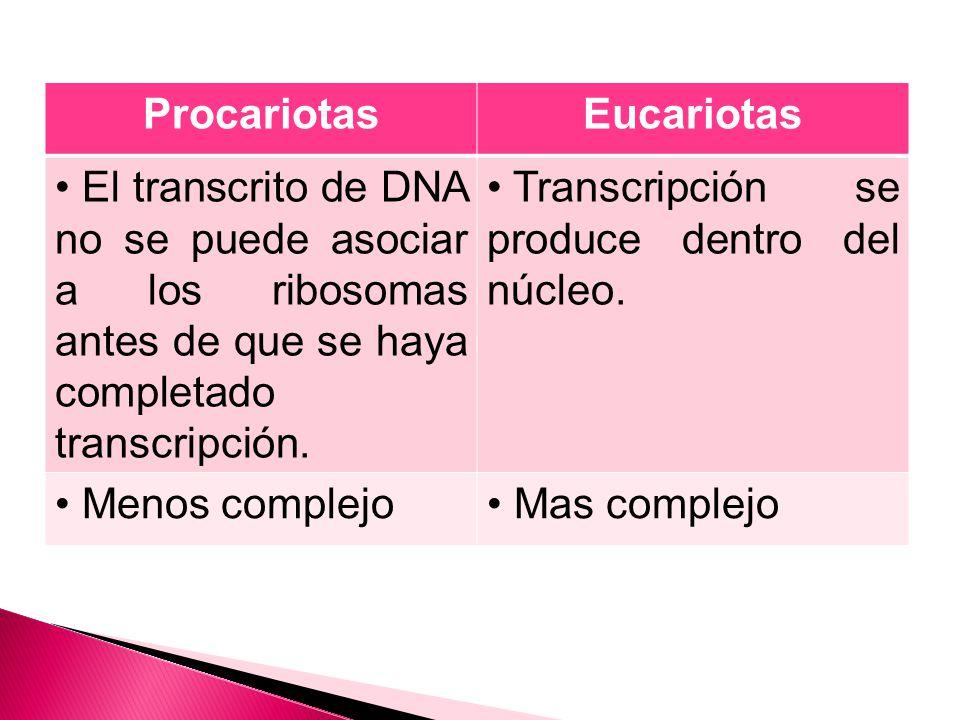 ProcariotasEucariotas El transcrito de DNA no se puede asociar a los ribosomas antes de que se haya completado transcripción.