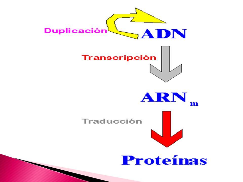 La expresión génica se concretiza por la transformación de la información genética desde moléculas de ADN a moléculas de ARN y desde estas hasta los polipéptidos correspondientes.