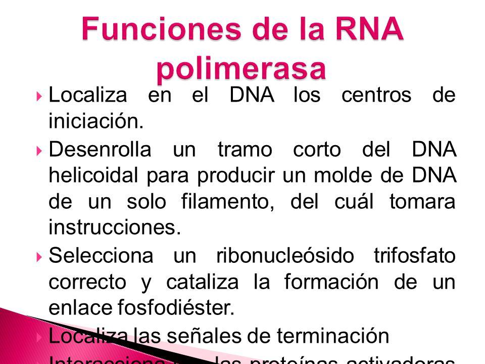 Localiza en el DNA los centros de iniciación.