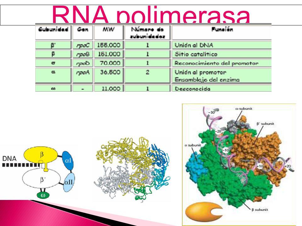 El primer paso en la expresión de un gen es la transcripción de una cadena de la plantilla de DNA por una RNA polimerasa.