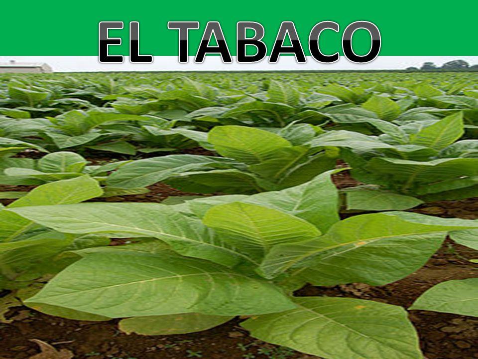 El tabaco es un producto de la agricultura originario de América y procesado a partir de las hojas de varias plantas del género Nicotiana tabacum.