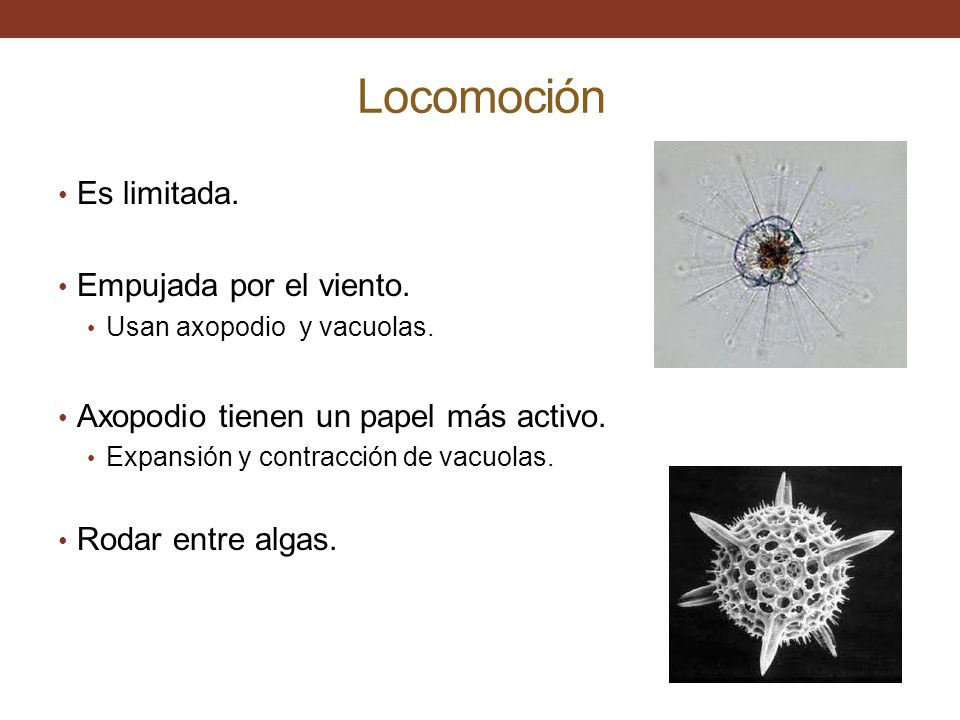 Nutrición Heterótrofos Fagocitosis.Usa el axopodio como trampa.