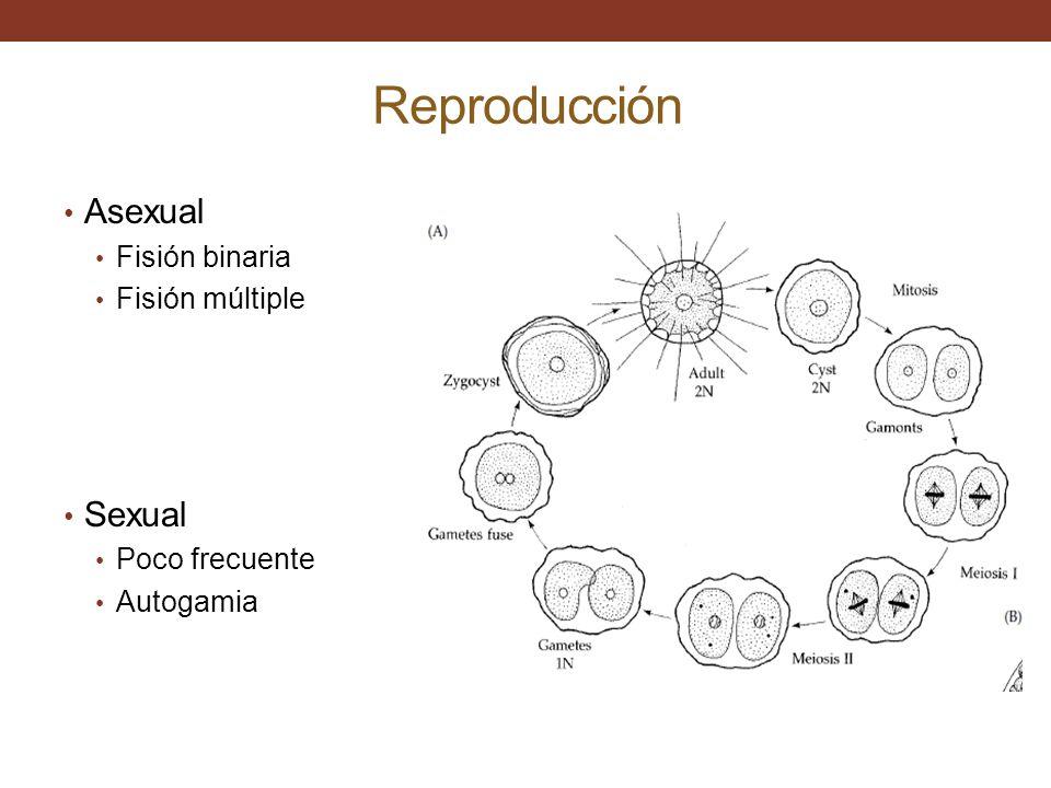 Reproducción Asexual Fisión binaria Fisión múltiple Sexual Poco frecuente Autogamia